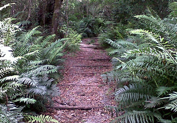 Elephant trail flanked by indigenous ferns